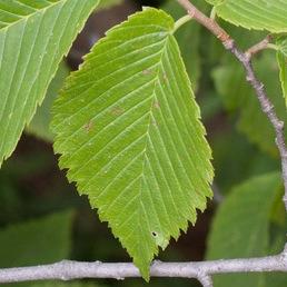 Slippery elm
