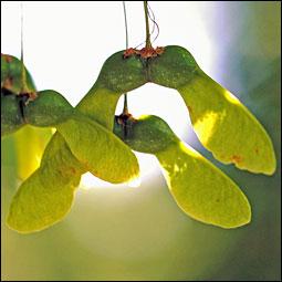 Seed(Fruit)