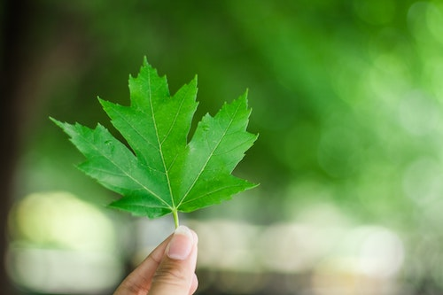 Close-up of a green maple leaf held between thumb and index finger, with a blurred background.